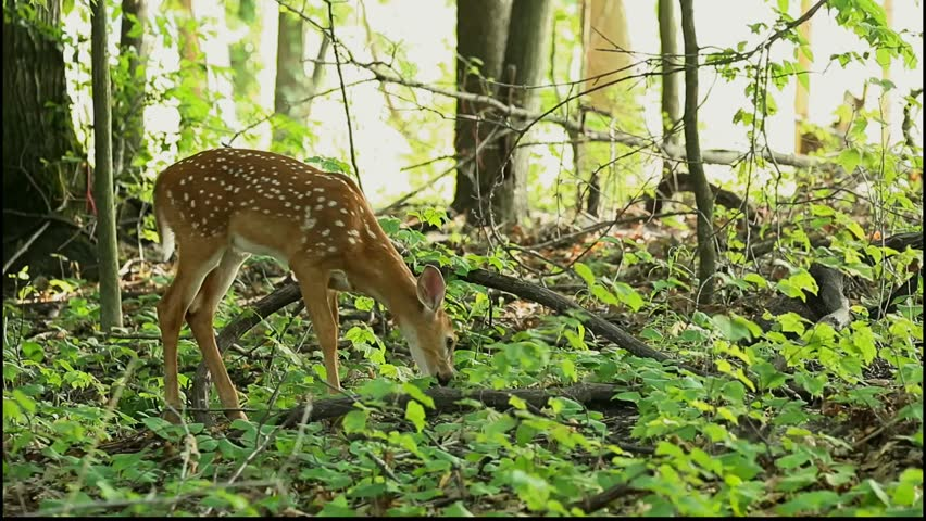 white tailed deer fawn foraging in the woods