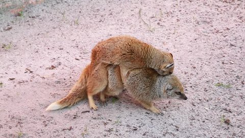 Mongoose Courtship, animal couple and fight