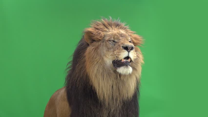Slow Motion of a Lion roaring in front of a green key | Shutterstock Video #3811646