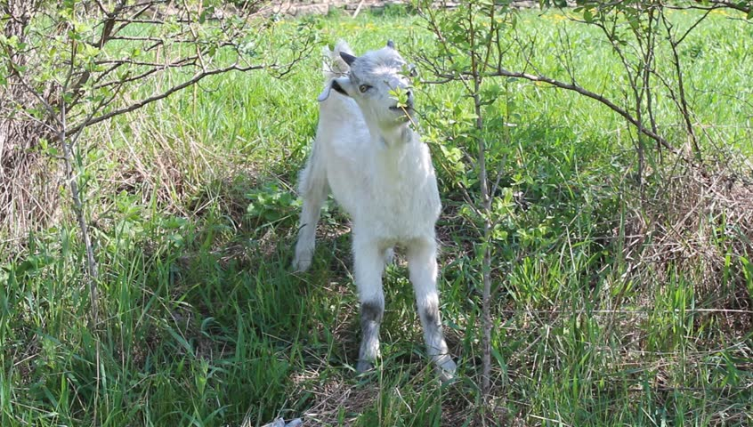 cute baby goat eating green leaves
