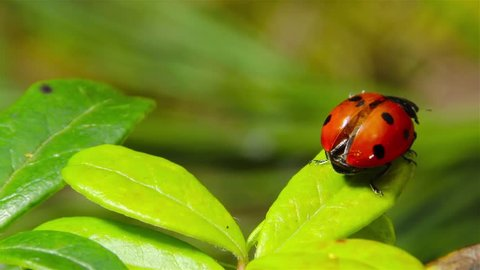ladybug takes off from the leaf