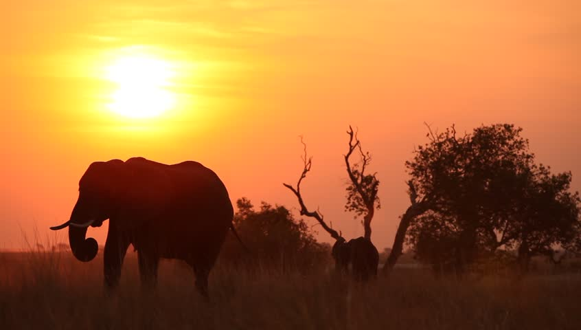 African landscape with elephant and it's calf eating in field silhouetted at sunset.