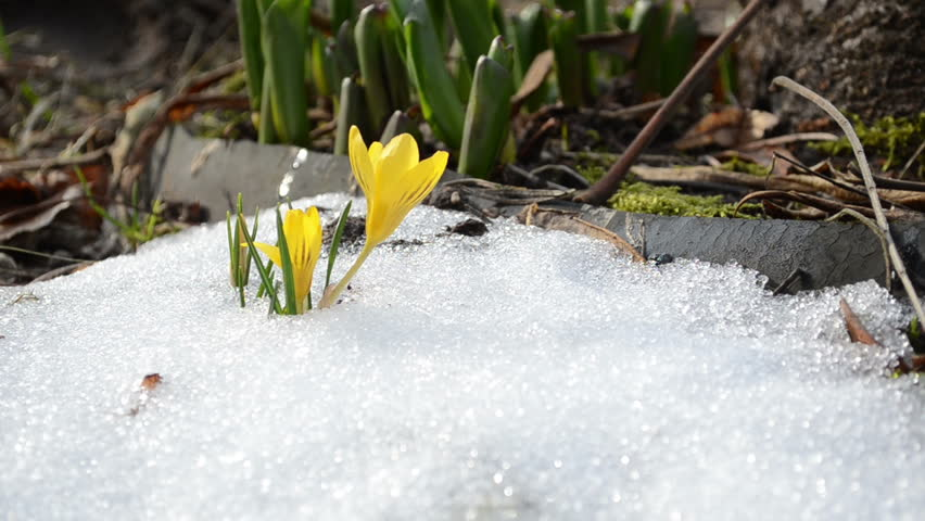 Saffron Crocus First Spring Flowers Stock Footage Video 100