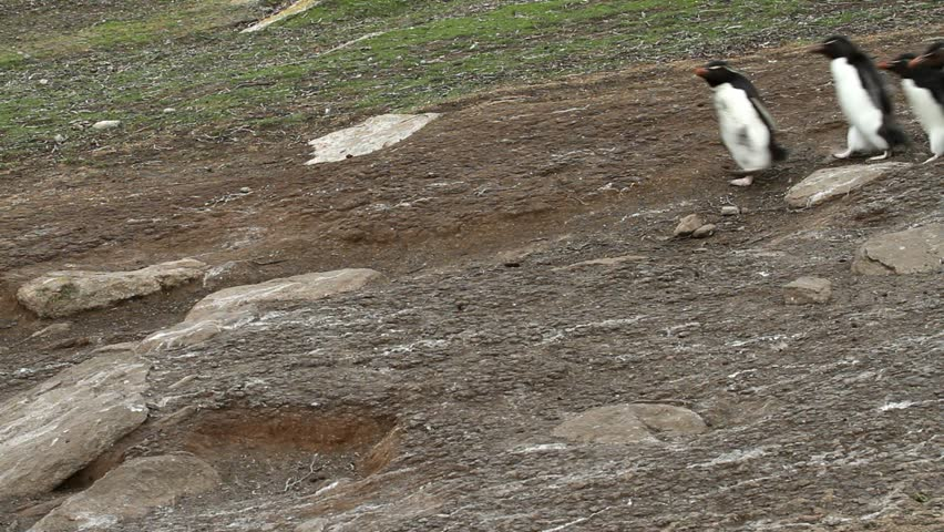 Rockhopper penguins walking downhill