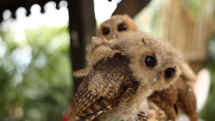 Little baby owls