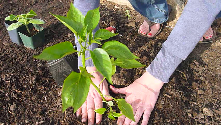 Woman planting pepper plant at community garden in Portland, Oregon - real time.