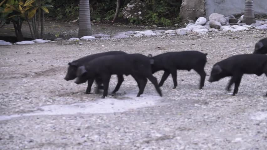 Small herd of piglets walking.