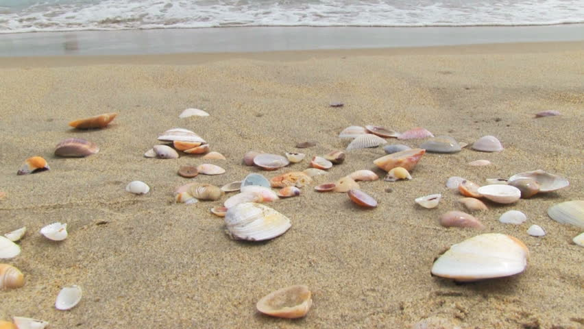 Image result for clam shells sandy beach