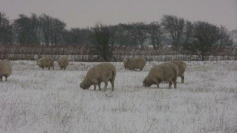 Field of Romney SHEEP in a snow blizzard