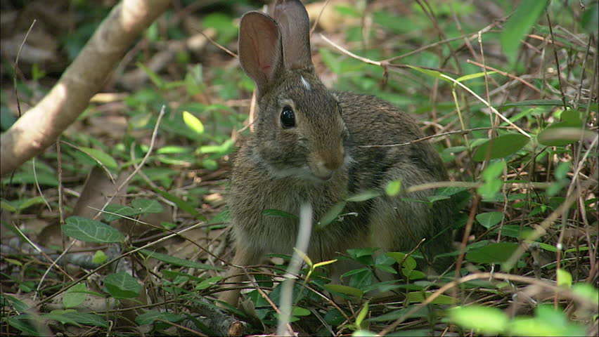 A rabbit in the green forest floor looking around for food during the day