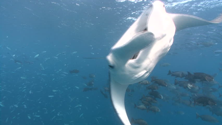 A single Manta swims through fish, turns towards camera mouth open, exits frame