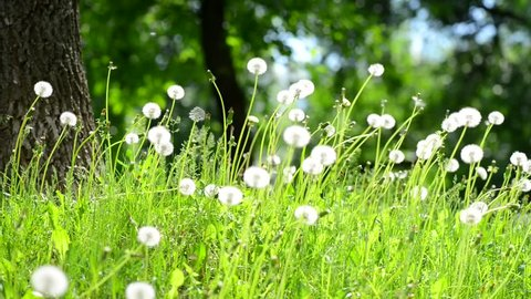 Dandelion seeds blown in the wind. Green Grass in Spring Park. Dolly Slider Shot
