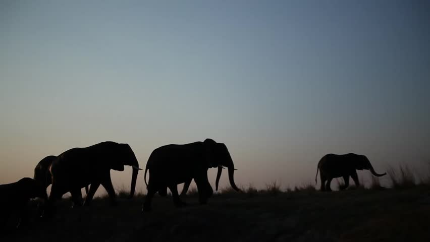 Large herd of African elephants silhouetted and walking along river bank | Shutterstock HD Video #3985312
