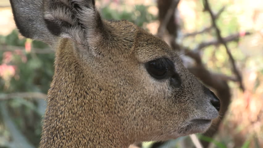 Header of klipspringer
