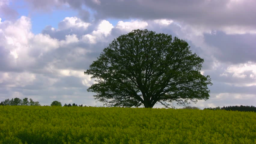 Time lapse of big, old oak tree on a blooming rape field against violent spring clouds on a stormy afternoon.