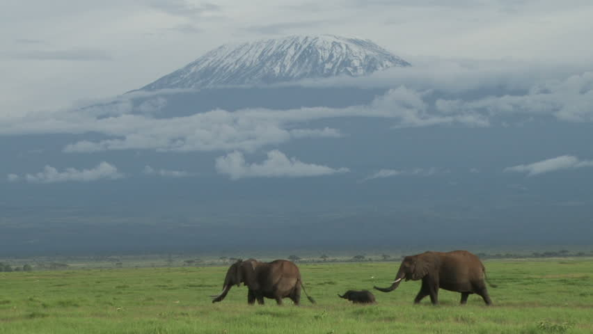 two elephants and a baby walk past heading to the swamp with kilimanjaro in the background,