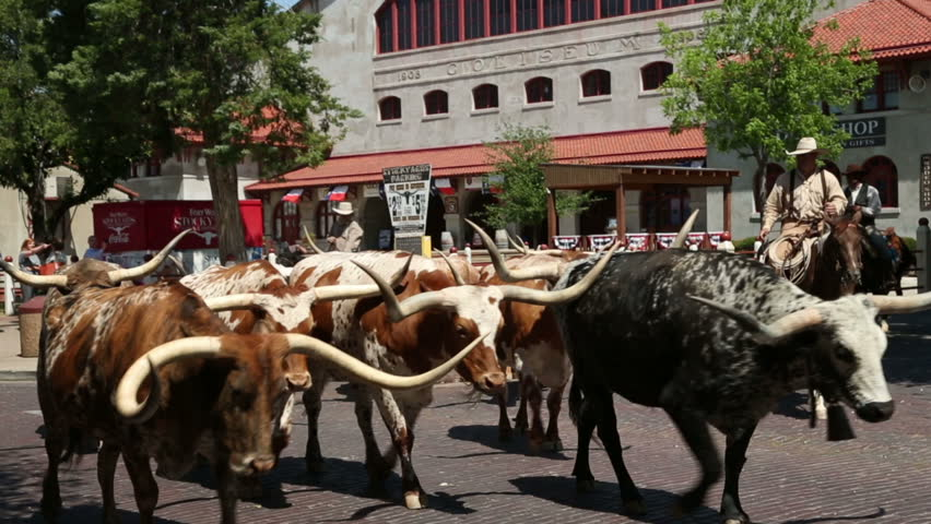 FORT WORTH, TEXAS/USA - MAY 09: Unidentified cowboys walk longhorn cattle along East Exchange Avenue for the twice daily Fort Worth Stockyards cattle drive on May 09, 2013 in Fort Worth.