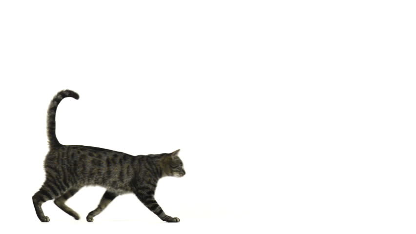 Slow motion of a cat running