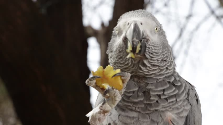Parrot eat Fruit-close up   Shutterstock HD Video #4110832