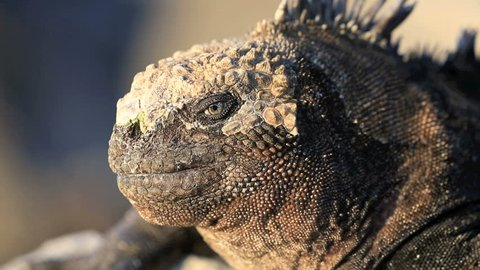 Detail portrait of watchful marine iguana in the Galapagos Islands