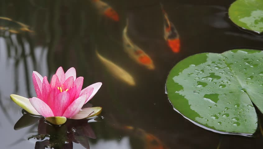 Koi Fish Swimming in Garden Water Pond with Water Lily Flower Blooming and Green Lily Pads 1920x1080