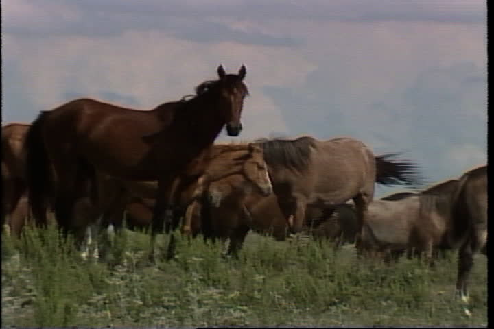 Herd of wild horses grazing on the plains. | Shutterstock HD Video #4155616