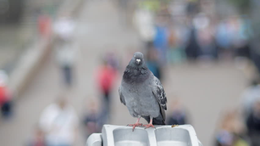 Dancing pigeon with crowds in background