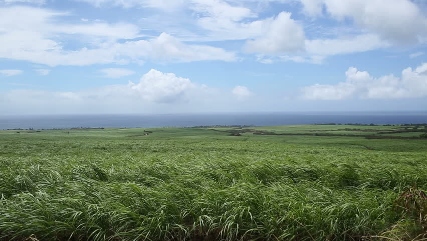 Tropical sugarcane crops in Maui, Hawaii