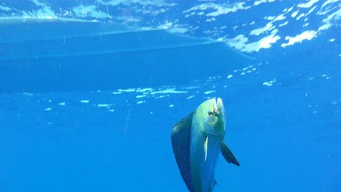 Underwater 1080 HD sport fishing footage of saltwater game fish Mahi Mahi, a.k.a. Dolphin or Dorado, in the clear blue water of the Atlantic Ocean off the Florida Coastline.
