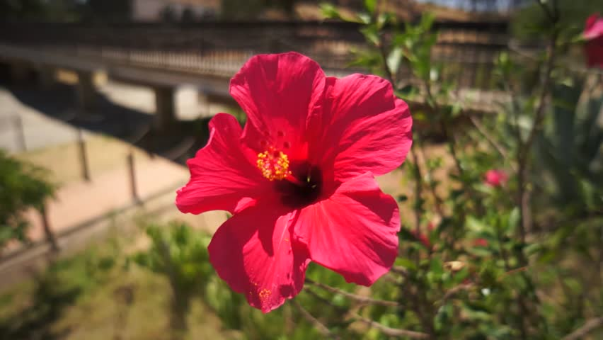 Red Hibiscus Flower Head In Park Moret One Of The Largest Urban