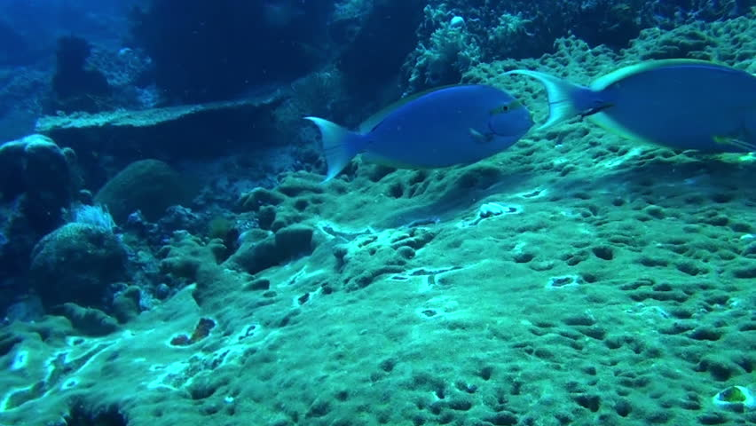 Header of Acanthurus coeruleus