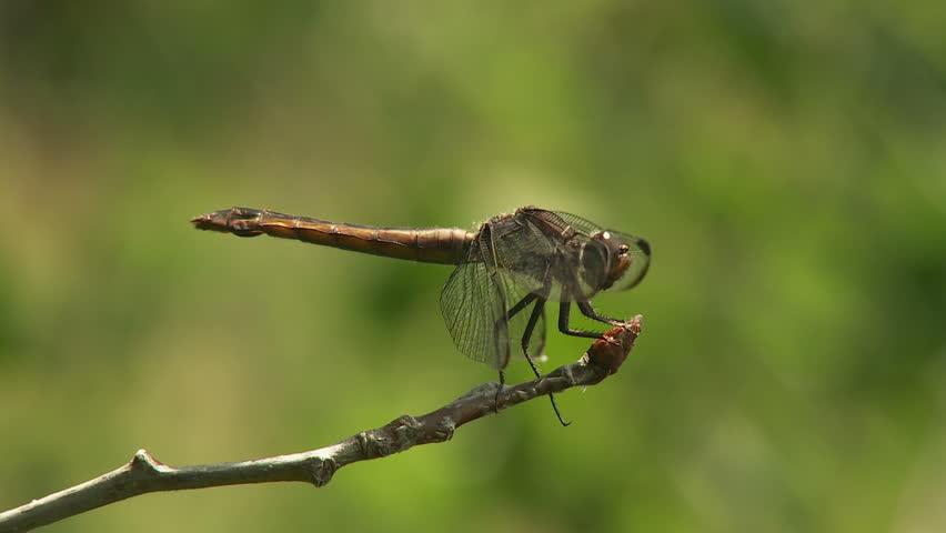 A female Slaty Skimmer (Libellula incesta) dragonfly perches on vegetation in summer.