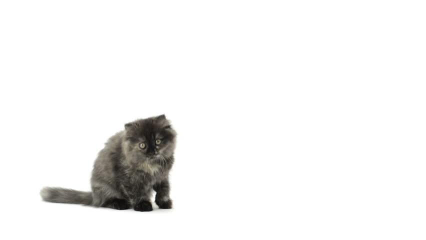 Highland fold kitten sitting, meowing and walking