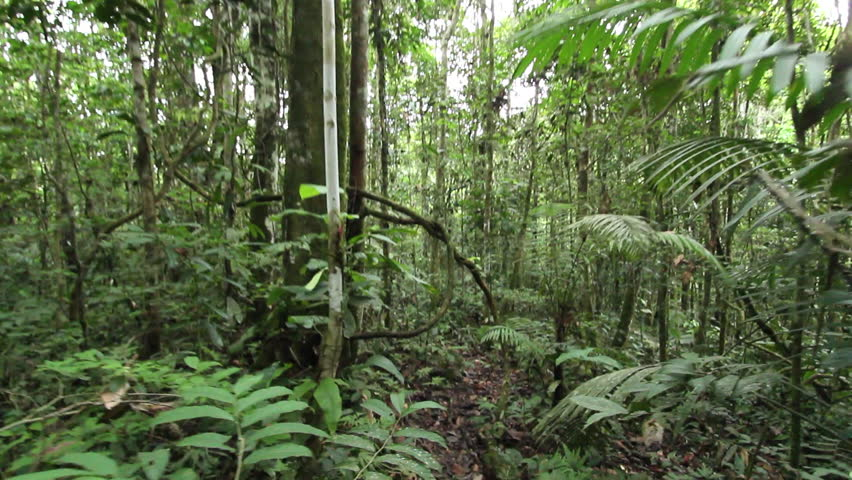 Walking through a tangle of lianas in tropical rainforest in the Ecuadorian Amazon