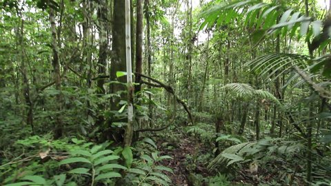 Walking through a tangle of lianas in tropical rainforest in the Ecuadorian Amazon