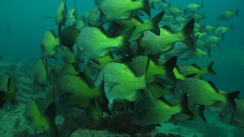 Burrito grunt (Anisotremus interruptus),colorful yellow fish in a school, baitball or tornado, the Sea of Cortez. Cabo Pulmo, Baja California Sur, Mexico. Cousteau named it The world's aquarium. | Shutterstock HD Video #4289822