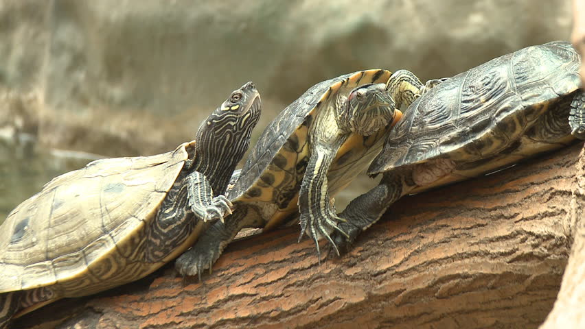 Turtle, red eared slider, sunbath on trunk - HD stock video clip