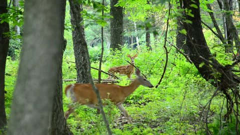 Whitetail deer fawn walking along in the woods.