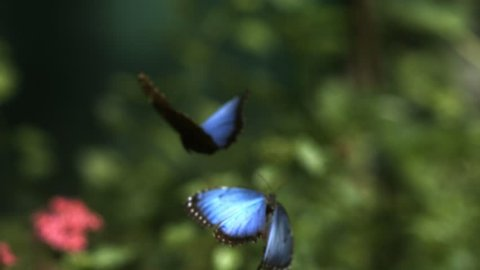 Close-up of brilliant blue-winged butterflies flying towards a pink flower
