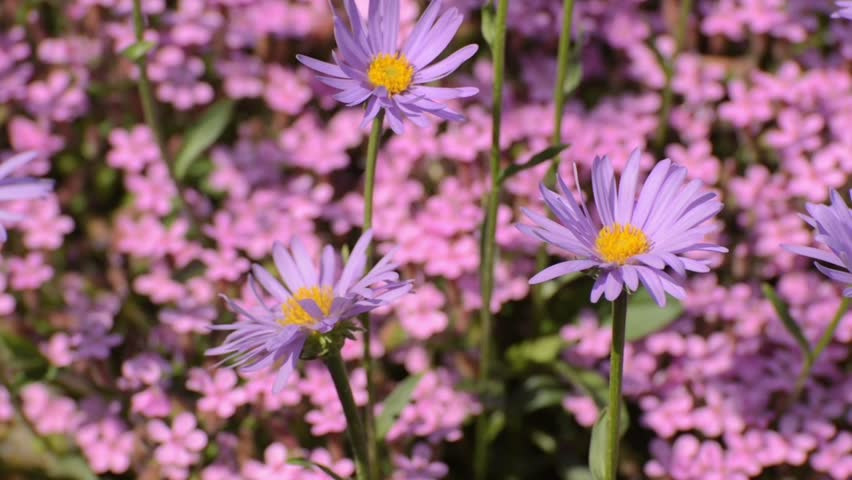 Header of Alpine Aster