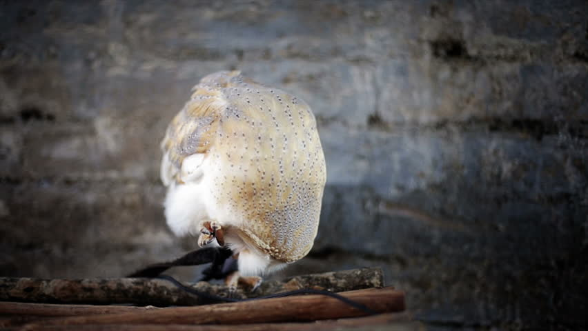 White owl trying to scape from the strings in his claws   Shutterstock HD Video #4338872