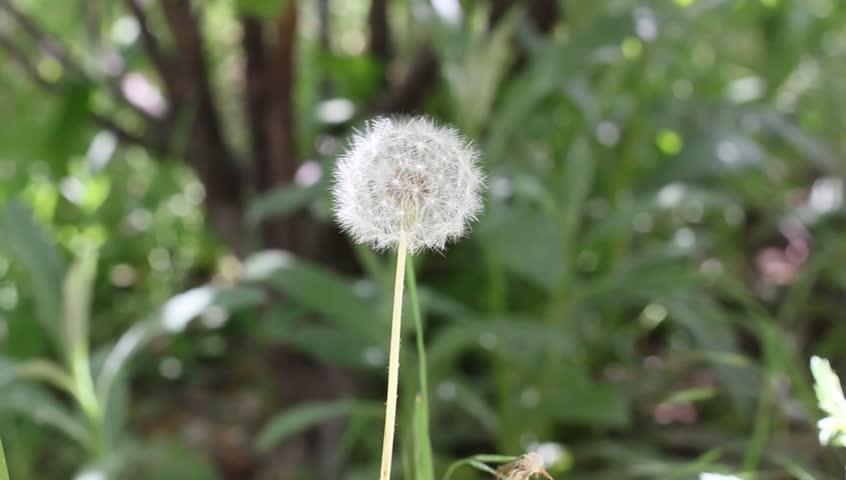 dandelion flower blowing