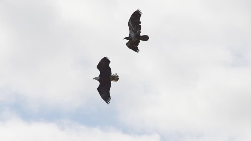 Two bald eagles fly in unison and perform acrobatic courting ritual in slow motion