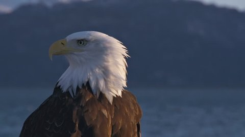 Close up of a male bald eagle searching and shrieking, with distant snowy mountains in the background