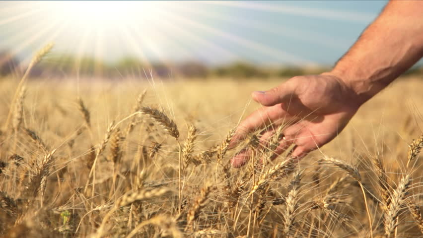 Summer. Sunny day. Field of ripe wheat. Man's hand and spikelets