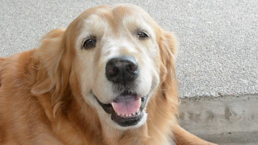 Stock Video Of Happy Golden Retriever Pet Dog Is 4367312