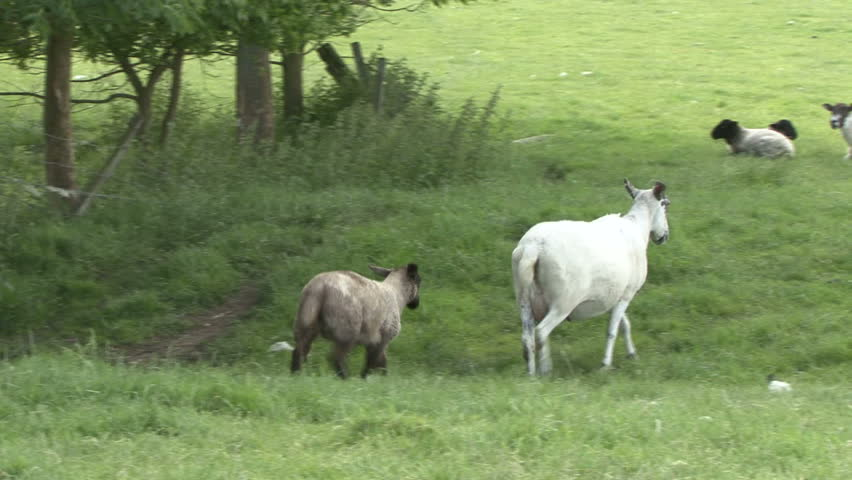 Ewe and her lamb walk away from the camera. HD.