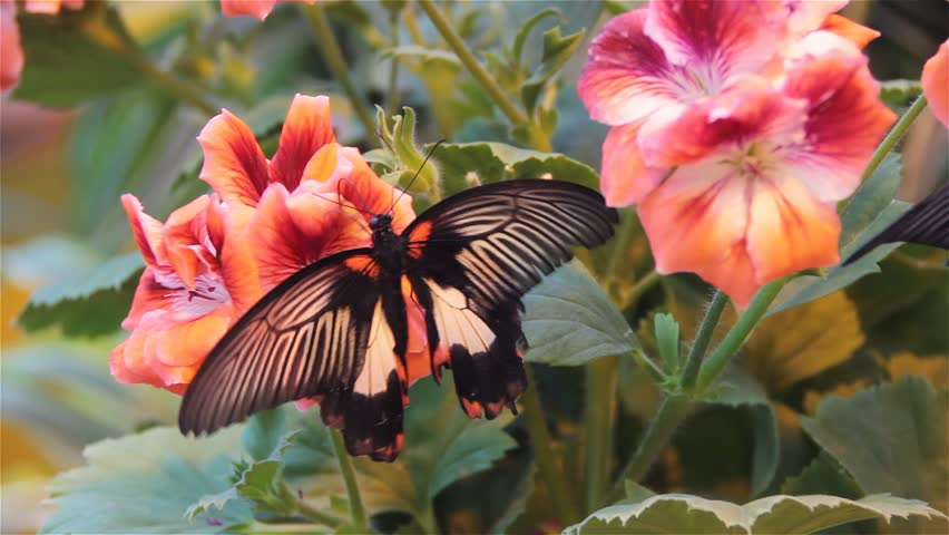 Tropical butterfly on the flowers drinking nectar, closeup