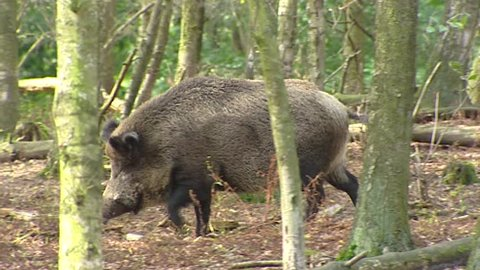 European wild boar (sus scrofa) wanders in forest, oinking - tracking shot. Wild boar are omnivorous scavengers, eating almost anything they come across.