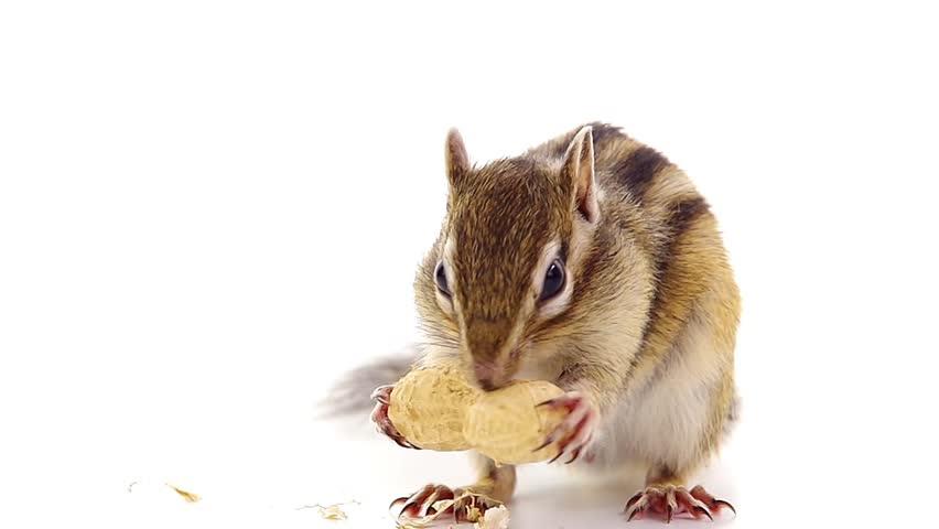 Chipmunk cracking peanut...